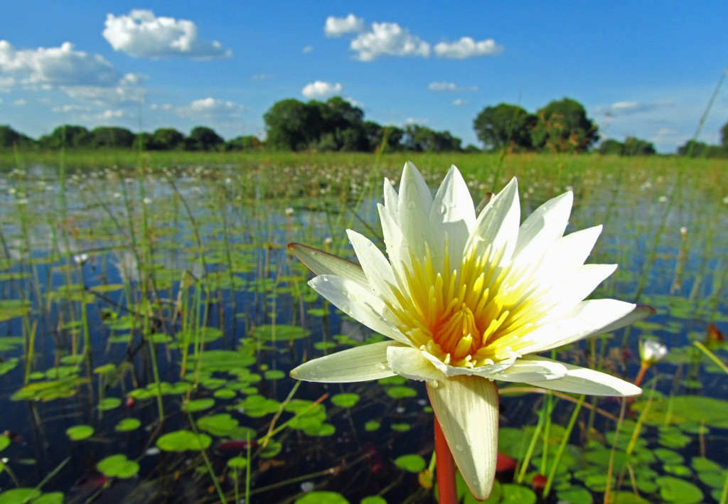 Waterlelie in Okavanfodelta