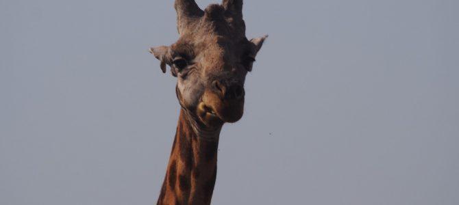 Dag 151-155 (24-28 jan.): Rust in Kidepo en panne in Murchison Falls