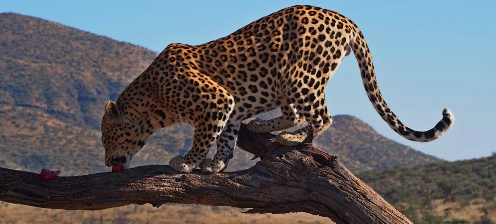 Dag 281-285 (3-7 juni): (Jacht)luipaarden voederen, rotstekeningen en perfectie bij Spitzkoppe