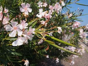 P9089764 Bloemen aan Iseo meer