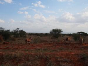 PC288622 - Zebras in Tsavo West NP