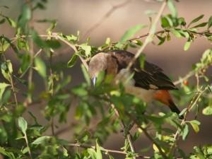 PC298654 - Vogel op public campsite Amboseli NP