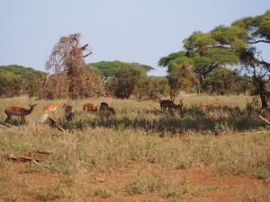 PC298670 - Impala's Amboseli NP