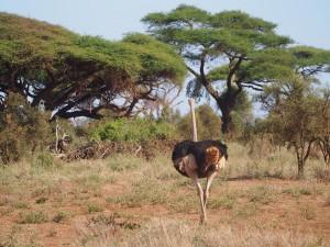 PC298673 - Struisvogel Amboseli NP