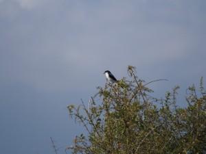 PC298680 - Vogel Amboseli NP