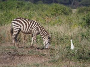 PC298687 - Zebra Amboseli NP
