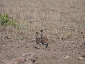 PC298702 - Geelkeelfrankolijnen Amboseli NP