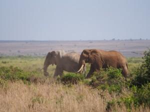 PC298708 - Olifanten Amboseli NP