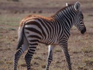 PC298713 - Zebra Amboseli NP