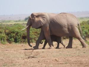PC298727 - Olifanten Amboseli NP