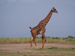 PC298779 - Giraffe Amboseli NP