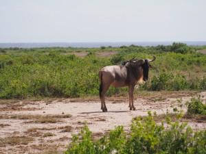 PC298792 - Gnie Amboseli NP
