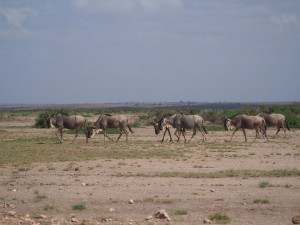 PC298793 - Gnoes Amboseli NP