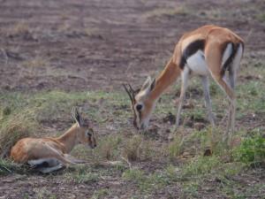 PC298803 - Thomson's gazelle Amboseli NP