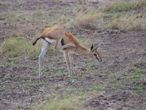 PC298813 - Thomson's gazelle Amboseli NP