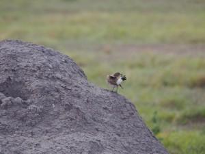 PC298820 - Vogel Amboseli NP
