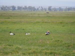 PC298825 - Heilige ibissen en kraanvogels Amboseli NP
