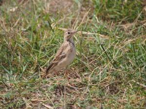PC298829 - Vogel Amboseli NP