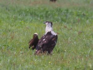 PC298847 - Roofvogels Amboseli NP