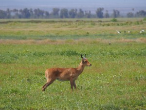 PC298858 - Bohorrietbok Amboseli NP