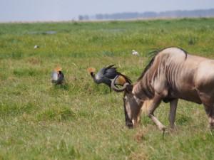 PC298912 - Kraanvogels en gnoes Amboseli NP