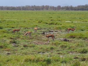 PC298917 - Thomson's gazelle Amboseli NP