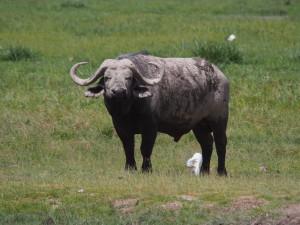 PC298921 - Buffel Amboseli NP