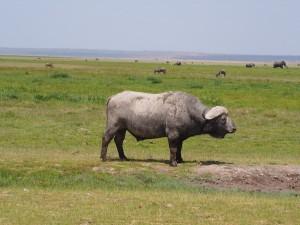 PC298927 - Buffel Amboseli NP
