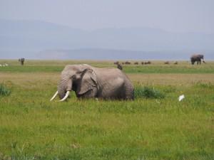 PC298932 - Olifant Amboseli NP