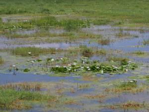 PC298948 - Waterlelies Amboseli NP