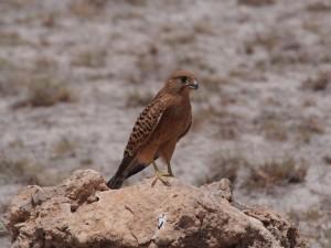 PC298966 - Roofvogel Amboseli NP