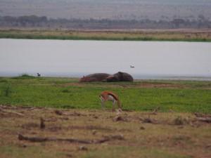 PC298975 - Nijlpaarden Amboseli NP