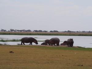 PC298987 - Nijlpaarden Amboseli NP