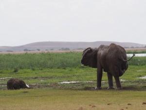 PC298991 - Olifanten Amboseli NP