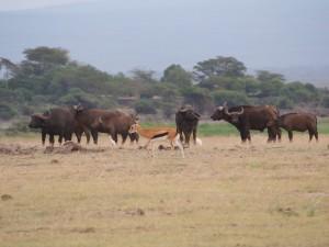 PC299022 - Buffels en thomson's gazelle Amboseli NP