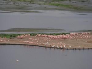 PC299050 - Flamingo's en peilikanen Amboseli NP