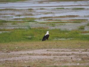 PC299091 - Afrikaanse visarend Amboseli NP