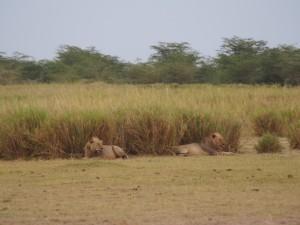 PC299105 - Leeuwen Amboseli NP
