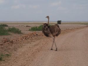 PC299118 - Struisvogel Amboseli NP