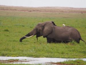 PC299123 - Olifant Amboseli NP