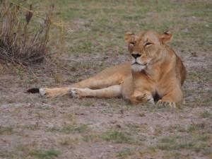 PC299138 - Leeuw Amboseli NP