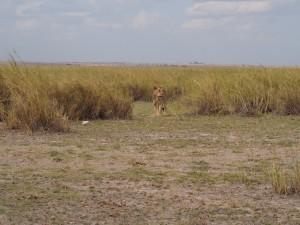 PC299142 - Leeuw Amboseli NP