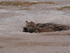 PC299144 - Gevlekte hyena Amboseli NP