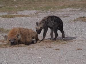 PC299148 - Gevlekte hyena's Amboseli NP