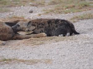 PC299161 - Gevlekte hyena's Amboseli NP