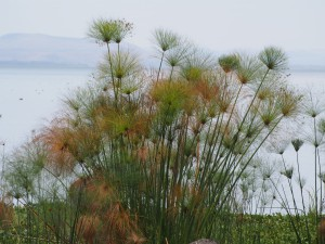 P1029183 - Papyrus bij Naivasha meer