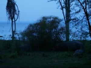 P1029229 - Nijlpaarden bij Naivasha meer