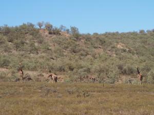 P1039286 - Giraffes Hells Gate NP