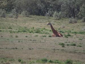 P1039374 - Giraffe Hells Gate NP
