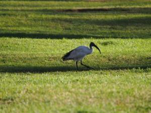 P1049428 - Heilige ibis Oloiden Camping